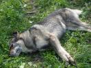 В Селятино произошло жестокое массовое убийство собак